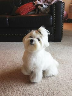 Gustave's at home summer cut - Maltese Dogs Forum : Spoiled Maltese Forums. What a cool haircut