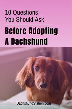 Are You Really Ready To Adopt a Dachshund?  Questions you need to ask FIRST. Dachshunds are special members of the family.  Any doxie parent knows that raising a dachshund is a unique and cherished experience that they will never forget.  #dachshund  #doxie
