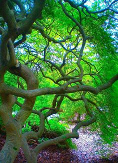 New Plants Photography Nature Green Ideas Twisted Tree, Tree Leaves, Tree Tree, Tree Branches, Japanese Maple, Nature Tree, Tree Forest, Lush Green, Beautiful Landscapes