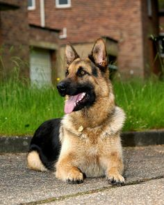 German Shepherd Dogs are faithful wherever they happen to be.