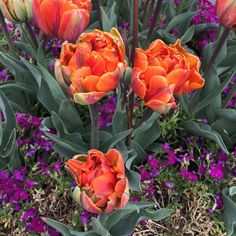 """Mi piace"": 50, commenti: 3 - Rebecca Duckett Wilkinson (@tiger_tiffin) su Instagram: ""Flower power at Kew. #flowerpower #royalbotanicalgardenskew #kewgardens #flowercolour"""