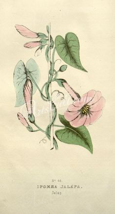 plants-30848 Jalap, ipomoea jalapa  botanical floral botany natural naturalist nature flowers flower beautiful nice flora plants blooming ArtsCult.com Artscult ArtsCult vintage printable public domain 300 dpi commercial use 1800s 1700s 1900s Victorian Edwardian art clipart royalty free digital download picture collection pack paintings scan high qulity illustration old books pages supplies collage wall decoration ornaments Graphic en