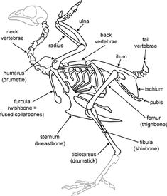 cladogram illustrating the phylogeny of the major