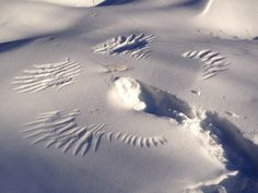 Snow Angel, Beauty from natures bounty and loving consciousness. Guess what animal create this snow angel?