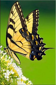 Swallowtail Butterfly - Swallowtail butterflies are large and colorful butterflies that are found in all the continents of the world. Flying Flowers, Butterflies Flying, Beautiful Butterflies, Butterfly Kisses, Butterfly Flowers, Butterfly Pictures, Monarch Butterfly, Moth Caterpillar, Tier Fotos