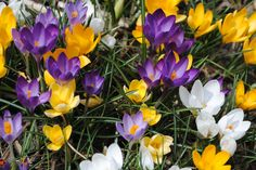 I didn't know what crocus were until I directed The Secret Garden.... now they are among my faves.  These are at my house.