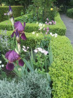 In de Blauwe Border, bloeit nu 25-5-2016 een mooie donkere paarse Iris, in combinatie met grijze Santolinia en akelei.