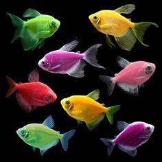 Amazon.com : GloFish Live Fish Collections (Tetra Deluxe) : Pet Supplies Colorful Fish, Tropical Fish, Cool Tanks, Big Fish Tanks, Tetra Fish, Small Fish, Live Fish, Angel Fish, Freshwater Fish