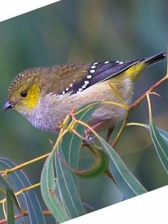 Forty-spotted Pardalote, one of AU's rarest birds;  it is confined to SE Tasmania