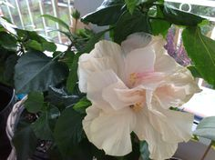 Ibišek 3. květ