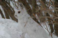 Wild rabbit at Shirley's Bay