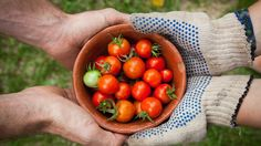 Lunch time doesn't need to be boring while on the low FODMAP diet! There are plenty of easy and filling low FODMAP lunchbox fillers you can enjoy. To help you get started we've put together a list of our low FODMAP lunchbox favourites. How To Ripen Tomatoes, Growing Tomatoes From Seed, Growing Tomatoes In Containers, Organic Gardening, Gardening Tips, Container Gardening, Culture Tomate, Fruits And Vegetables, Veggies