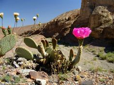 prickly pear flower, opuntia basilaris, desert flower, cactus