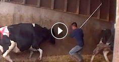 ¿La leche y el queso que consumes son el producto de una crueldad descarada con los animales? Una nueva investigación encubierta de Mercy For Animals muestra trabajadores en Andrus Farms — un proveedor de productos lácteos de uno de los mayores productores de queso en el mundo — golpeando con saña, dando puñaladas y arrastrando a las vacas enfermas y lesionadas. Mira el video ¡y luego actúa!