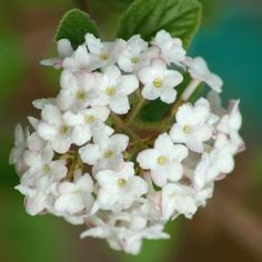 Do You Have a Predilection for the Pretty, Precocious Shrubs?: Koreanspice Viburnum: Complex Smell of Late April