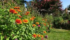 Zinnias for Pollinators! by Susan Harris