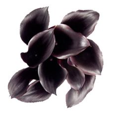 Dark mini calla lilies.Calla lillies come in a wide variety of colors and are very expensive.