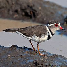 Three-banded Plover, Kruger National Park