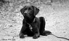 Labrador Retriever Mila