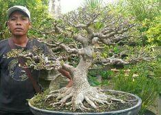 Bonsai Ficus, Succulent Bonsai, Bonsai Garden, Succulents, Planting, Gardening, Dwarf Trees, Bonsai Styles, Miniature Trees