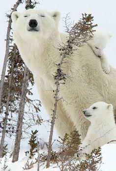 Un día en la vida de una familia del oso polar