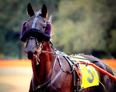 Standardbred racing horse