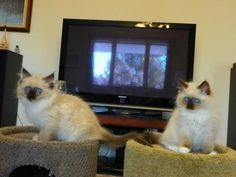9 weeks old Nice looking male and female... is listed For Sale on Austree - Free Classifieds Ads from all around Australia - http://www.austree.com.au/pets/cats-kittens/9-weeks-old-nice-looking-male-and-female-ragdoll-kitten_i3652