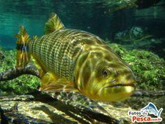 dourado peixe rio - Pesquisa Google