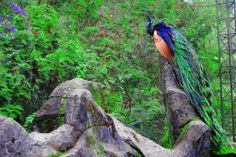 Burung Merak by poo2