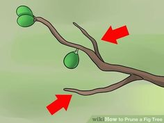 How to Prune a Fig Tree: 11 Steps (with Pictures) - wikiHow