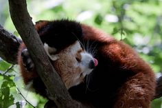 Bronx Zoo II: Wally the Red Panda | Flickr - Photo Sharing!