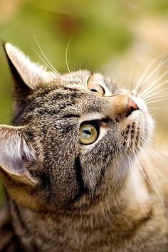 """""""The cat, in dignity and independence, is very much as the human animal should be, but isn't."""" --Paul Corey"""