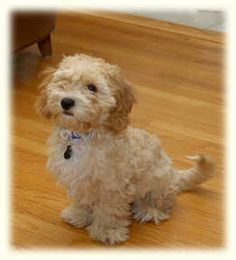 ... King Charles spaniel and bichon frise mix bred with a miniature poodle
