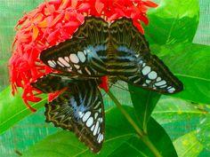 Butteflies in Penang!