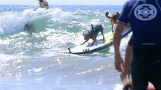 Φωτογραφία: Watch these adorable #dogs catch waves at the #Surf City dog competitiondai.ly/x3al5et