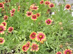 Blanket Flower ANNUAL/ Gaillardia pulchella/ Mature Size:     1-1/2' h x 1 1/2' w/        Flower Color:     Yellow and maroon-red/ Flower Season:     late spring to fall/ Other Features: Summer bloomer.