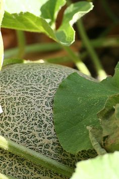 Tips on growing cantaloupe. Going to try growing melons this year. How To Pick Cantaloupe, Growing Cantaloupe, Growing Melons, Cantaloupe And Melon, Growing Vegetables, Vegetables Garden, Veggies, Freezing Vegetables, Gardens