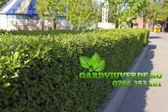 Galerie - Gard viu - Lemn Cainesc - Ligustrum ovalifolium Plant