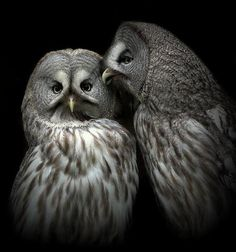 Incredible photo of owls