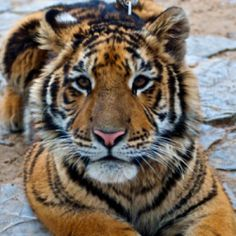 The Bengal Tiger or Royal Bengal Tiger was once found through a large area of India, Pakistan, Nepal, Tibet and other countries in South East...