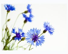 Blue cornflowers on a white background  - beautiful fine art photography - 5x7 print - Cornflower
