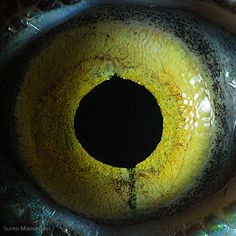 """The famous photographer Suren Manvelyan and he is in famous in macro photography. Animal Eyes Photography by Suren Manvelyan, The popular series of close-ups of """"Animal Eyes"""" and """"Your Beautiful Eyes"""" have had millions of views on Web. Eye Close Up, Extreme Close Up, Photos Of Eyes, Close Up Photos, Lizard Eye, Reptile Eye, Iris, Especie Animal, Coffee And Cigarettes"""