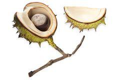 Porcelain Chestnut Pod,Penkridge Ceramics