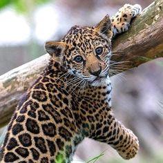 Little Jaguar Cub . Little Jaguar Cub . Scary Animals, Cute Wild Animals, Animals And Pets, Funny Animals, Pretty Cats, Beautiful Cats, Animals Beautiful, Baby Jaguar, Jaguar Animal