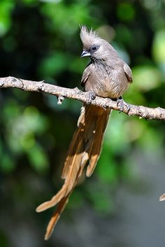 Speckled Mousebird (Colius striatus)  It is distributed from Cameroon east to Eritrea and Ethiopia, south through eastern Africa to southern South Africa.