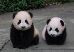 awww baby pandas:)