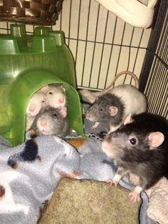 all 5 of my boys this morning #aww #cute #rat #cuterats #ratsofpinterest #cuddle #fluffy #animals #pets #bestfriend #ittssofluffy #boopthesnoot