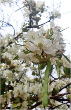 White bauhinia flowers