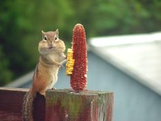 Did I eat your corn? What corn?