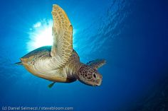 Swimming Green turle,  Marsa Abu Dabab, Egypt by Steve Bloom